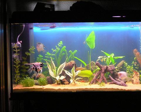 Elegir peces para casa for Peces de agua dulce para peceras sin oxigeno