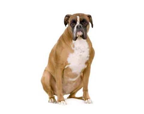 Hipotiroidismo en los perros