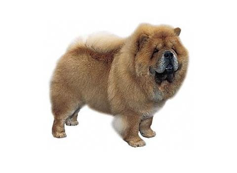 chow2 Los perros Chow Chow