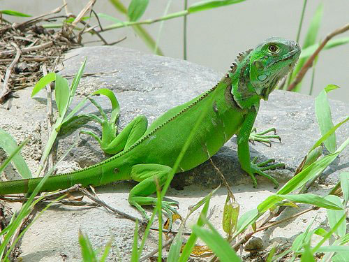 Comprar una iguana