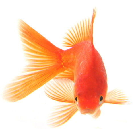 Caracter sticas del goldfish for Peces goldfish tipos