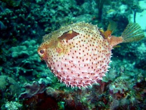 En Londres se abrirá un restautante de pez globo