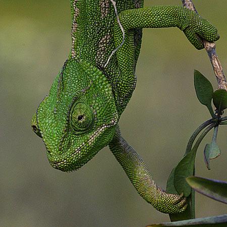 camaleon trepando El terrario del camaleón