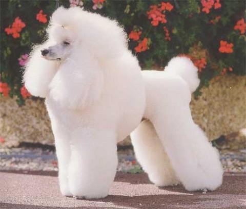Cortes de pelo para perros Poodle - Imagui
