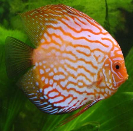 enfermedades pez disco: