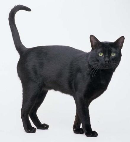 bombay e1268319657745 El gato Bombay