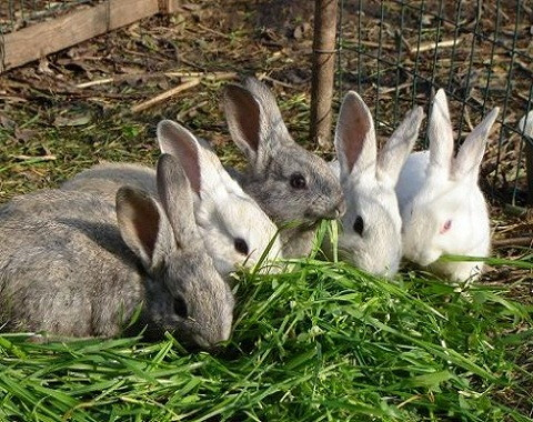 Las vacunas para los conejos