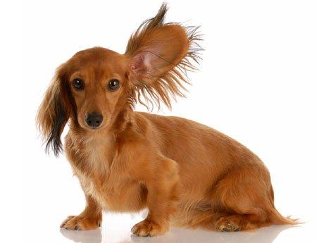 C mo limpiar las orejas de un perro for Como limpiar una piscina despues del invierno