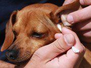 [Info] Cómo limpiar las orejas de un perro