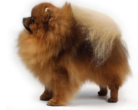 perros pequenos peludos