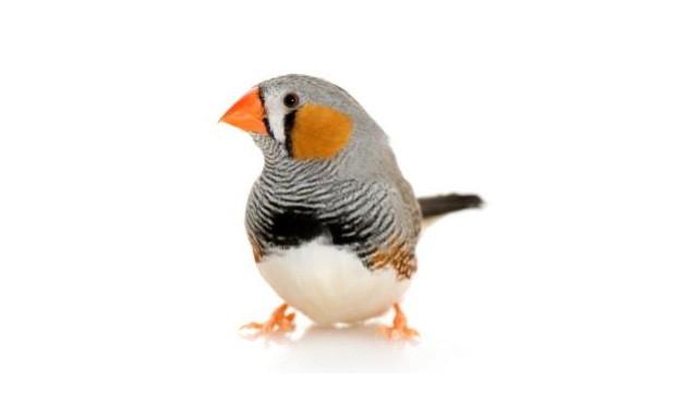 Los activos pájaros finches