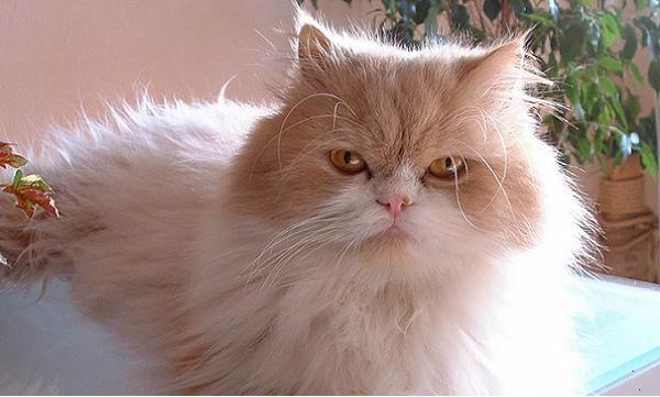 cuidados del pelo del gato persa