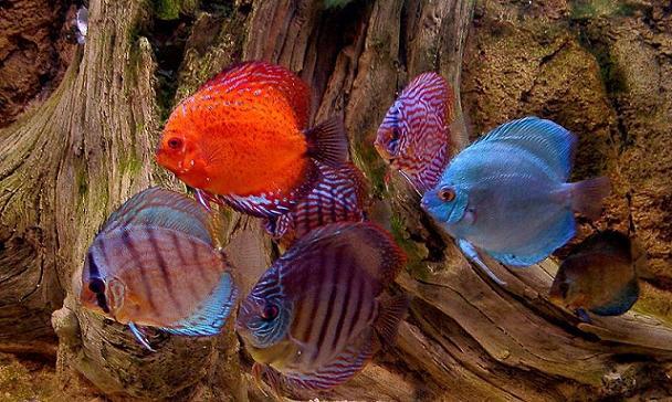 Compatibilidad de los peces del acuario for Especies de peces