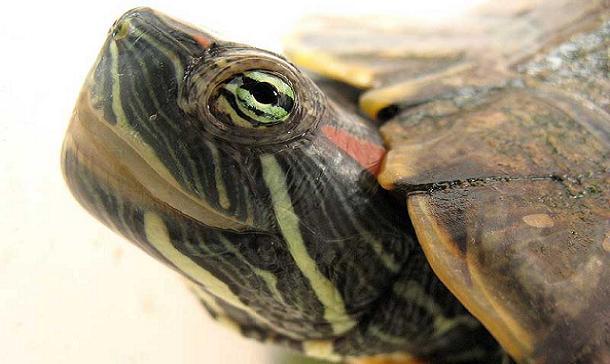 http://animalmascota.com/wp-content/2010/10/hibernaci%C3%B3n-tortugas1.jpg