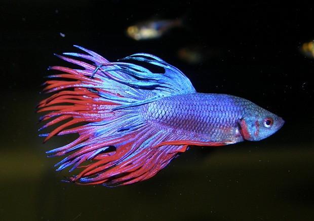 El apareamiento de los peces betta for Especies de peces