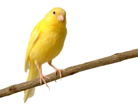 Canarios: Cuidados, Alimentacion, Cria, Mantenimiento.