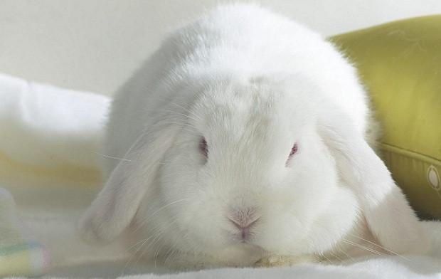 la adopción de conejitos como animales domésticos es una práctica