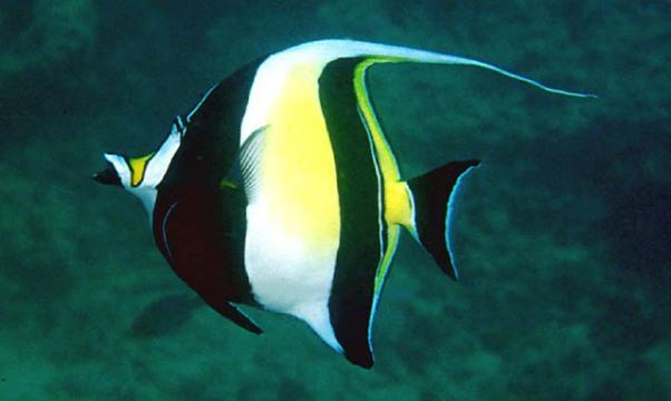 El vistoso pez mariposa for Pez escalar enfermedades