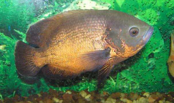 Fotos de pez oscar 48