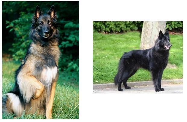 Info] Tipos de perros pastores - Taringa!