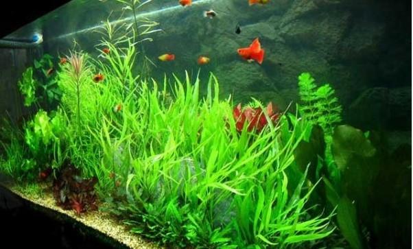 C mo elegir las plantas del acuario for Plantas de acuario