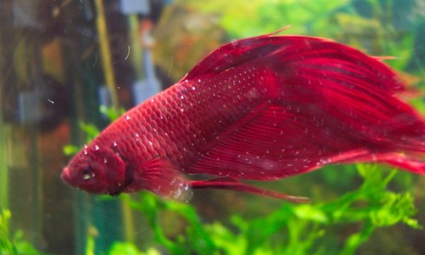 Enfermedad del punto blanco en peces for Peces agua dulce