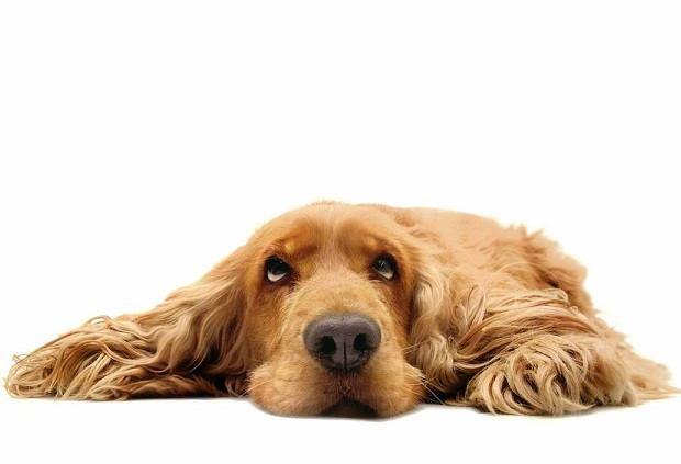 La neumonía en los perros