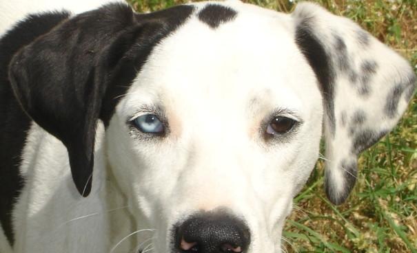 Perros con ojos de distintos colores