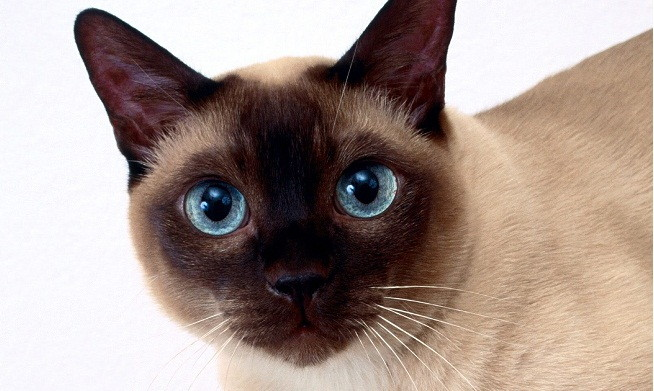 Ojos azules wikipedia the free encyclopedia       Ojos azules are remarkable for their deep blue eyes Unlike the blue eyes seen linked to the genes in bicolor cats and cats with point