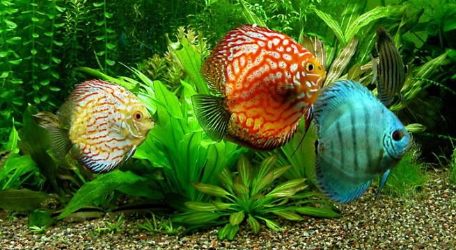 C mo alimentar a los peces del acuario for Peces artificiales para acuarios