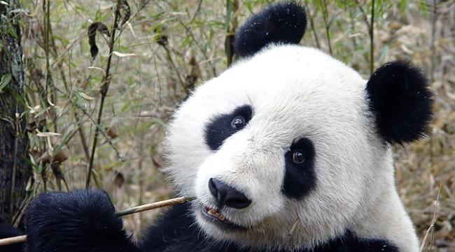 Conocer Los Osos Panda