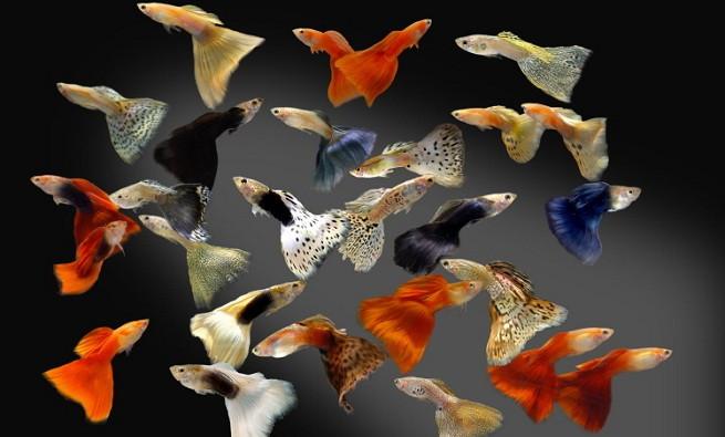 Criar peces guppys for Peces para criar