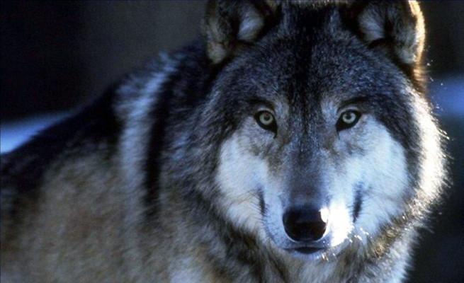 Rehabilitación Del Lobo Gris En Proceso: La Domesticación De Los Lobos Para Convertirles En Perros