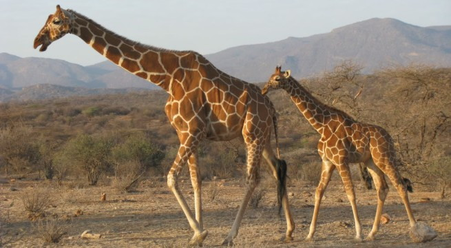 Curiosidades sobre las jirafas for Taxonomia de la jirafa