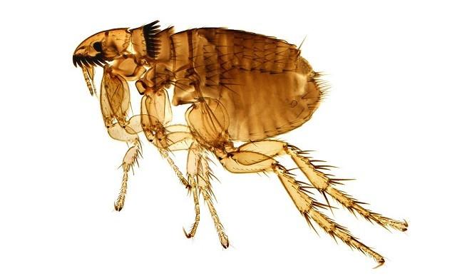 La Pulga De Las Vegas >> Las pulgas de gato y los humanos