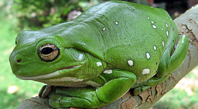 La rana arborícola verde