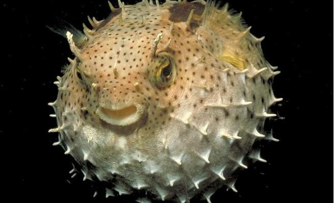 El curioso pez globo