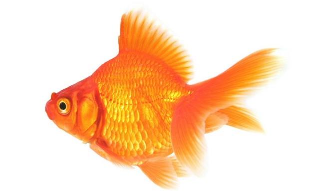 La alimentaci n de un goldfish for Alimento para goldfish
