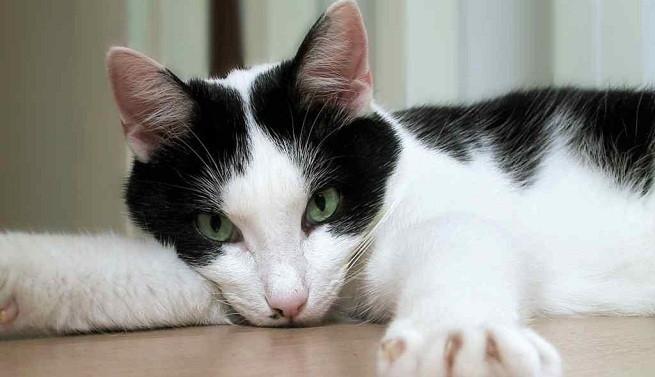 Resultado de imagen para perdida de peso en gatos