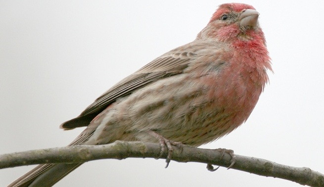Conocer al Rosefinch