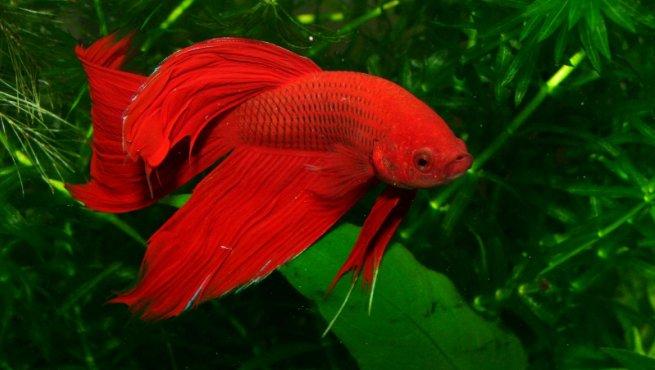 Enfermedades de los peces de acuario for Peces de pecera