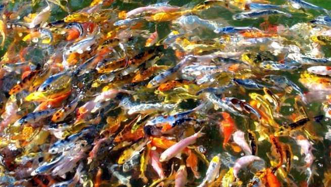 El pez carpa koi for Comida para carpas koi