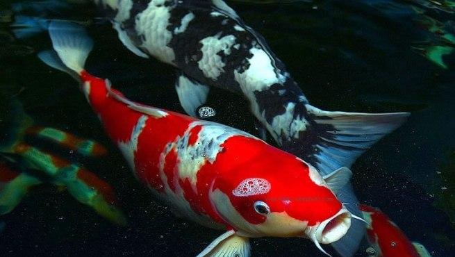 El pez carpa koi for Filtro estanque koi