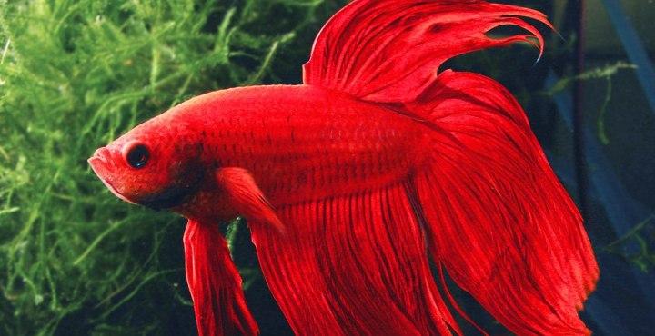 Peces compatibles con el pez betta for Especies de peces