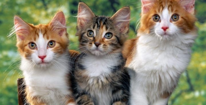 Cuando un nuevo gato llega a tu casa y ya tenías otros, hay que vigilarlos mucho al principio para evitar que surjan problemas entre ellos,