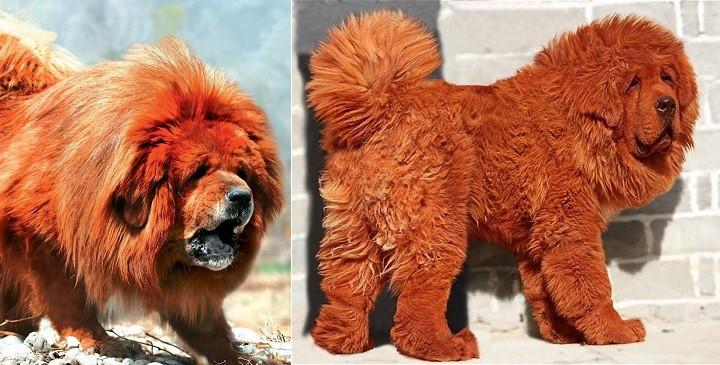 La raza de perro m s cara del mundo for La alfombra mas cara del mundo
