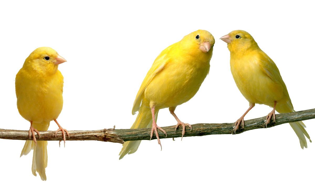 La reproducción de los canarios