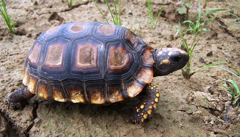 Enfermedades de la tortuga de tierra