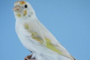Cuidados del canario blanco