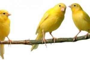 Cómo conseguir que los canarios canten más
